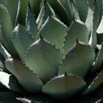 Verschillende agave soorten binnen en buiten